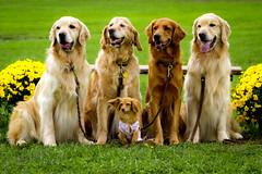 | Four Goldens and Their Leader | (SOBPhotography) Tags: rescue dog chien pet dogs cane goldenretriever golden canine hond retriever perro hund goldenretrieverrescue flickraward highqualitydogs