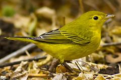 Yellow Warbler (Davor Desancic) Tags: