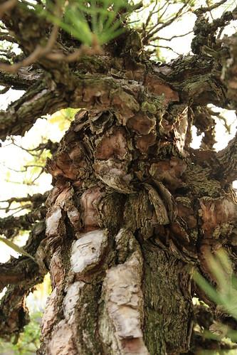 赤松 Akamatsu (Red Pine) - 盆栽美術館 - bonsai museum