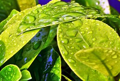 green leaves soaked in morning dew (Buyung Mukawi (OFF)) Tags: phoddastica