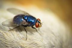 Mosca-Varejeira (www.leonardocarneirofotografia.com) Tags: brazil macro brasil canon fly portoalegre 7d flies supermacro mosca pardal moscas dcr250 raynox varejeira canon7d leocarida