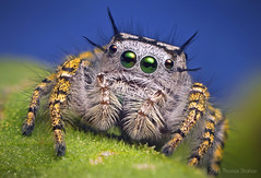 Adult Female Jumping Spider - Phidippus mystaceus (Thomas Shahan) Tags: hairy macro oklahoma lens 50mm prime spider jumping furry pentax zoom thomas arachnid flash tubes homemade extension reversed smc vivitar softbox diffuser invertebrate arthropod kx macrophotography salticid shahan phidippus f17 salticidae thyristor mystaceus