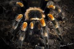 Brachypelma smithii (Stevemagno) Tags: macro spider nikon attack silk american angry poison poisonous ragno veleno esotic esotico 105micro velenoso brachypelmasmithii rimossadalampistapermancanzainformazioniluci d3100 americanspider