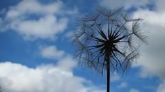 Dandelion (ambo333) Tags: brampton cumbria england uk dandelion dandelions weed weeds seed seeds wind breeze sky flower taraxacum bramptoncumbria
