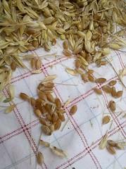Wheat 10