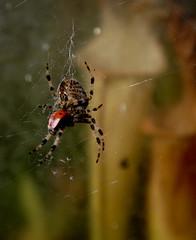 Spider & Lady Bird (Lookalittlecloser!) Tags: food plants macro closeup death spider legs web silk shell evil meal ladybird nx nx5 samsungnx samsungnx5