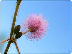 Phía trước là bầu trời (NQA - OngBom) Tags: hoa xấu hổ
