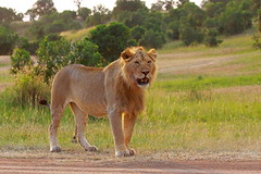 The Untamed Africa 11 (A young male African Lion) (Sanjeed (NatureLover)) Tags: canon kenya excellent jps naturelover exoticanimals ef70300is eos50d 1naturewildlife bdphtgrphrs naturephtgrphy officialnatgeo plsavenature highqltynature