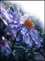 Blue Rain Drops
