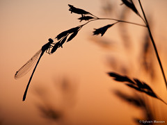 Good night 2 (Tintin44 - Sylvain Masson) Tags: sunset dragonfly olympus 50200mm couchant insecte libellule ombrechinoise e510 ex25 plandeau