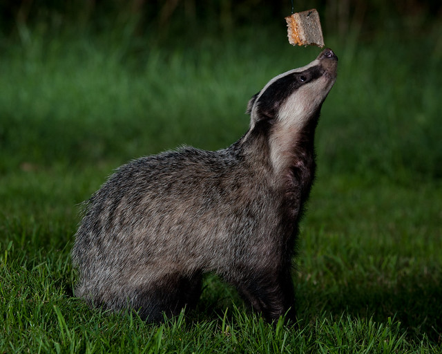 badger peanut butter sandwich 2