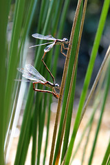Spreadwings egglaying (cheryl.rose83) Tags: insect damselflies odenata