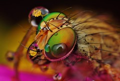 green eyed fly & wattle (FISHNROBO) Tags: flower colour macro green nature water closeup insect newcastle fun bush native wildlife australia cannon robo fishnrobo
