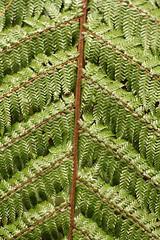 Fern (tuftyj) Tags: fern green patterning