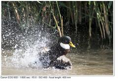 2011_08_24_1683 (John P Norton) Tags: bird fauna duck f56 aperturepriority 1800sec ef400mmf56lusm focallength400mm canoneos60d copyright2011johnnorton