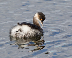Black necked Grebe 4 (Andrew Haynes Wildlife Images) Tags: bird nature wildlife grebe blackneckedgrebe ajh2008