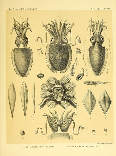 010-Report on the Cephalopoda collected by H. M. S. Challenger …1886- William Evans Hoyle.