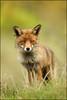 Face to face (hvhe1) Tags: nature animal nationalpark bravo wildlife dunes fox awd vos renard amsterdamsewaterleidingduinen specanimal hvhe1 hennievanheerden vulpusvulpus