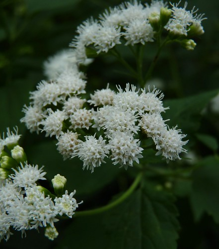 S is for Snakeroot