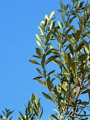 Green Life (Mari Rasti) Tags: life blue summer sky tree green nature leaf iran fresh shiraz sonyh50 marirasti
