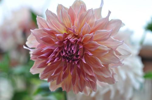 Dahlia Full Bloom