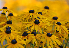 Black-eyed Susans (janruss) Tags: flower floral yellow blackeyedsusan naturesfinest janruss janinerussell