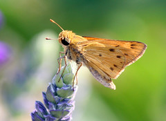 Backlit Skipper! (kathleenjacksonphotography) Tags: friends nature butterfly insect florida skipper dogsallowed brandonfl kerbysnursery