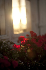 Morning flare (- David Olsson -) Tags: morning flowers light red sunlight window backlight sunrise nikon warm soft sweden bokeh karlstad lensflare sunlit vrmland d5000 bokehdots suntouched kanikenset davidolsson afsdxnikkor35mmf18g kanikenshamnen