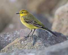 Yellow Wagtail (Andrew H Wildlife Images) Tags: nature rugby wildlife warwickshire wagtail yellowwagtail draycotewater ajh2008