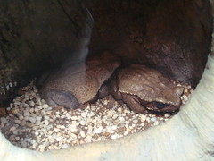 Smooth-sided Toads (IslesPunkFan) Tags: nyc ny newyork museum amphibian exhibit frog toad amnh amphibia smoothsided americanmuseumornaturalhistory