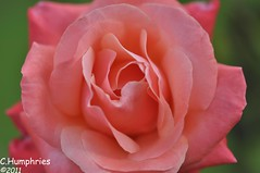 Macro Photography: Pink Rose (--CWH--) Tags: flower macro nature insect bury suffolk wildlife sigma stedmunds wonderfulworldofflowers chrishumphries
