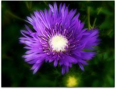 Purple in my garden. (♥ Katie ann. Off more than on.) Tags: beautifulflowers heartsofoak amazingdetail citrit mostbeautifulflower flickrsawesomeblossoms handselectedphotographs mamasbloomers naturescarousel fleurspassion thebestofunforgettableflowers weallloveflowers silveramazingdetail anaturecanvas themostbeautifulmacroimages lartedellanatura coloremiomondo youramazingcloseupsandmacros lamiasanata magiayflores