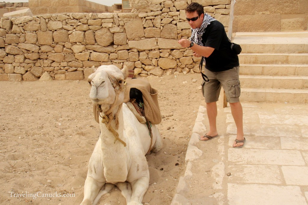 Bad Spitting Camel at the Pyramids