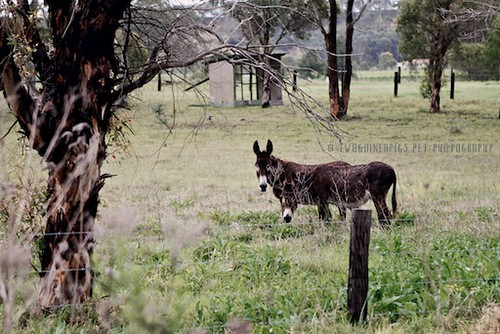 Donkeys by twoguineapigs pet photography