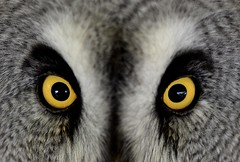 I am your eyes... (CitroenAZU) Tags: bird eye nikon yeux owl vogel oog rhoon uil historische landbouwdag