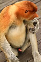 Hmmm (rafax1977) Tags: red wild nature face rain animal monkey rainforest asia feeding eating dick cock save malaysia borneo 7d erection sabah proboscismonkey canon70200f4 canon7d saverainforest