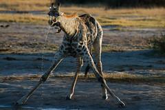 Giraffe Drinking - Chobe NP (AnthonyAdams) Tags: africa wildlife giraffe botswana chobenp africa2011