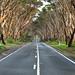 Eucalyptus Road - Kangaroo Island, Australia