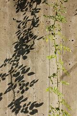 Concrete Botany (gripspix (OFF)) Tags: shadow plant nature concrete natur pflanze schatten twine beton ranke 20111001