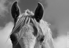 Chester (Vicktrr) Tags: horses blackandwhite clouds contrast bay stormy monotone chestnut equestrian welshy horsenose welshcob horseears welshsectiond turnoutrug
