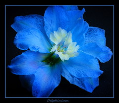 Delphinium (maar73) Tags: flowers blue autumn flower color macro nature photo petals flora october close sony herfst natuur bloom delphinium bloemen blooming bloem ridderspoor pictures masterphotos flickrflorescloseupmacros maar73 sonyslta55