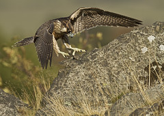 Peregrine_2315 (Peter Warne-Epping Forest) Tags: uk nature canon wildlife falcon peregrine falco moorland peregrinus avianexcellence