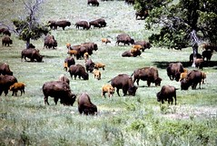 Bison with Calves, Custer State Park, 1981 (inkknife_2000 (7 million views +)) Tags: southdakota blackhills buffalo bison custerstatepark dgrahamphoto