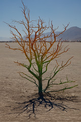 1006 / Chroma Tree (nocturnae) Tags: tree rainbow playa burningman rainbowtree