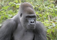 Gorilla 'Kumbuka' (gentle lemur) Tags: gorilla paigntonzoo gggorilla