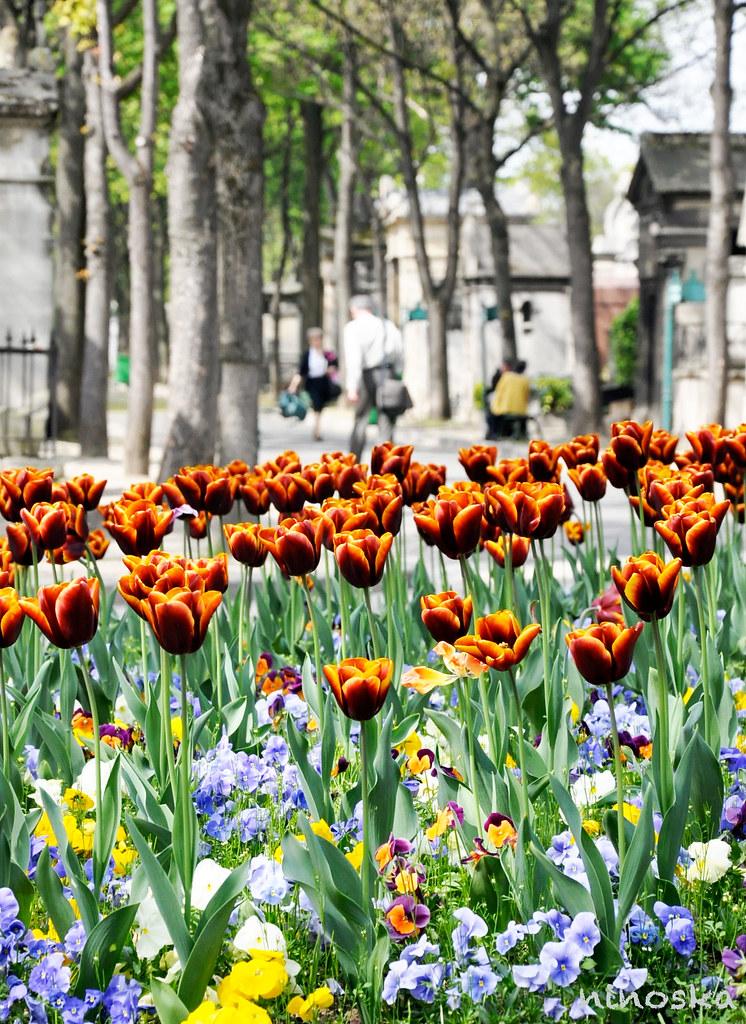 tulipes-du-cimentiere