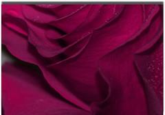 Magenta Curves (delsignorem) Tags: autumn rose curves oct magenta waterdrops 2011 hannaford delsignorem