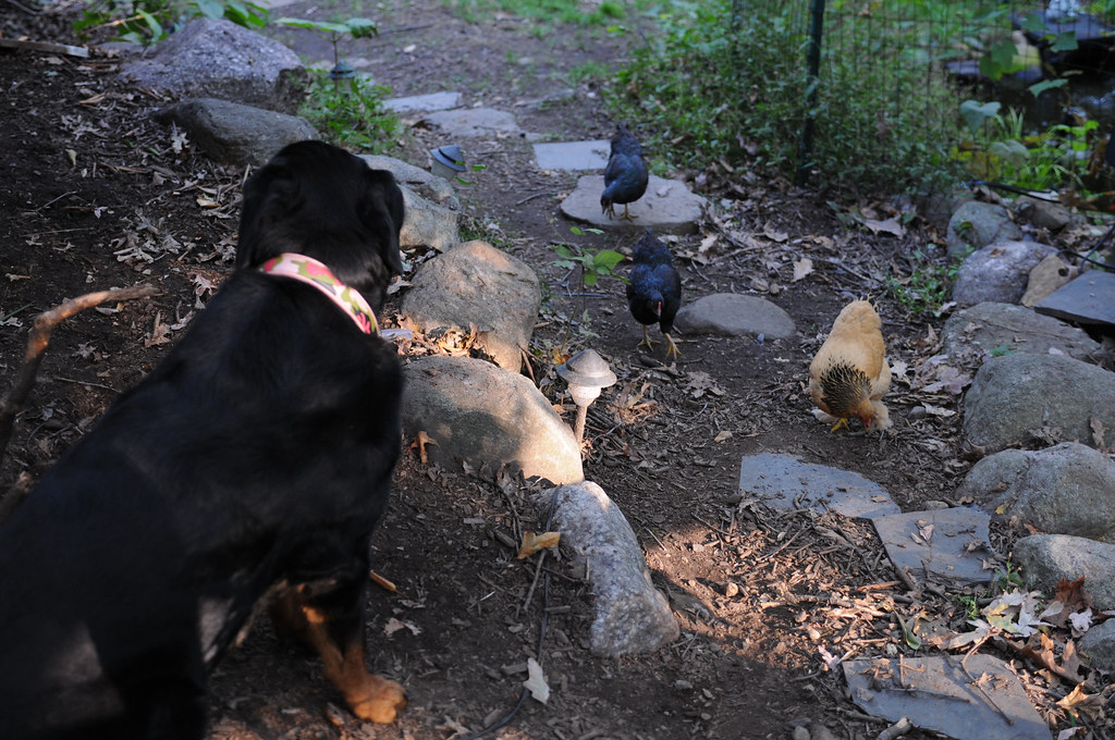 Betty Cakes, the Rottweiler and Mother Hen-3