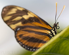 Monday Macro, Disturbed Tigerwing Butterfly (Jim Purcell) Tags: bridge autumn arizona usa art fall digital mediumformat garden photography afternoon pentax tucson flash fineart citylife bestviewedlarge az science lepidoptera photograph handheld sciences animalia fillflash arthropoda topaz zoology lightroom artistry tucsonbotanicalgardens insecta lepidoptery nymphalidae photomechanic clearwings ithomiinae onthecamera mechanitispolymnia pimacounty butterflymagic mondaymacro disturbedtigerwing pentax645d smcpentaxa645120mm4macro smcpentaxa645120mm4macro studyofbutterfliesandmoths