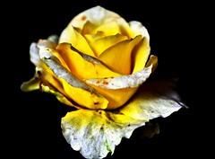 yellow-white roses (Buyung Mukawi (OFF)) Tags: ourflowers perfectpetals phoddastica afeastformyeyesaward allmagicspecialeffectsaward
